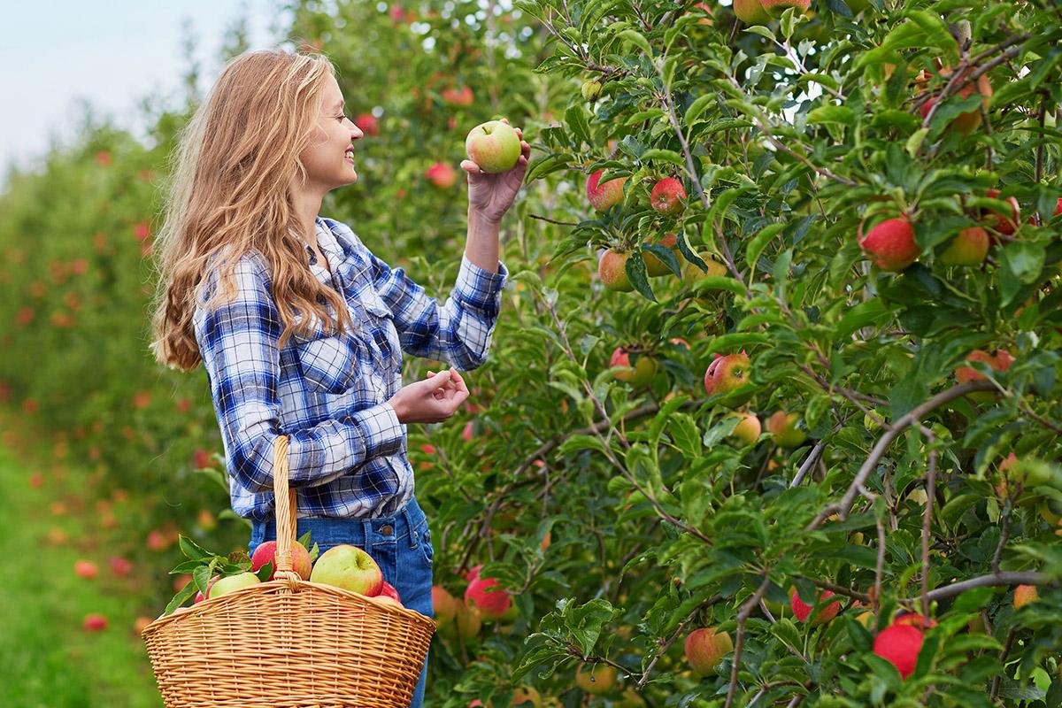 Apple Picking Season